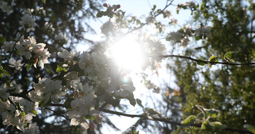 Beautiful blooming apple blossom. Sun rays and glare coming into the lens Live Action