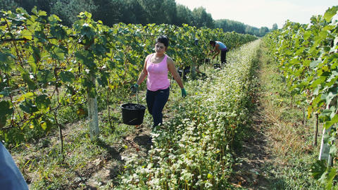 People picking grape during harvest season Acción en vivo