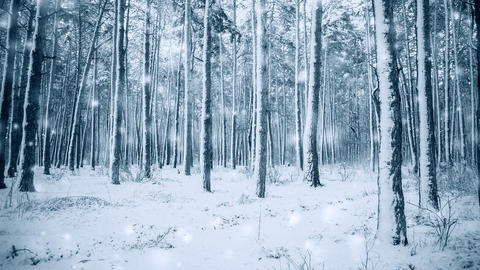 Tree pine spruce in magic forest winter with falling snow snowfall Live Action