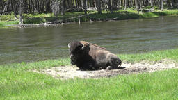 Wildlife bull Bison resting along beautiful Yellowstone River 4K 013 Footage
