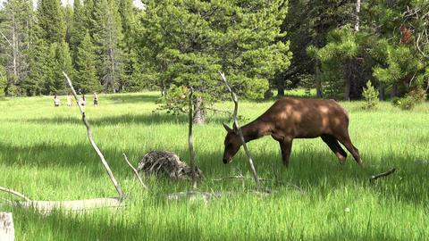Wildlife female Cow Elk meadow tourists Yellowstone 4K Footage