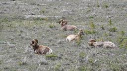 Wildlife ram sheep mountain meadow P HD 1263 Footage