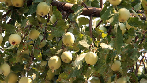 Yellow apples on tree P HD 2055 Footage