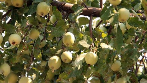 Yellow apples on tree P HD 2055 Footage