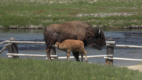Yellowstone American Bison nursing feeding calf along river 4K Footage