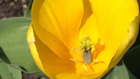 Yellow Tulip beautiful clower close 4K 011 Footage