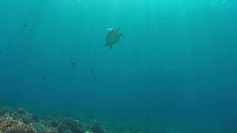 Green Sea turtle swims to the surface 4K Footage