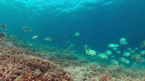 Sailfin and Blubberlip Snapper on a coral reef Footage
