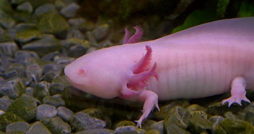 Axolotl, Mexican Salamander (Ambystoma Mexicanum) or Mexican Walking Fish Footage