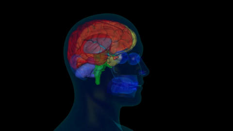 scan of the human head, brain Animation