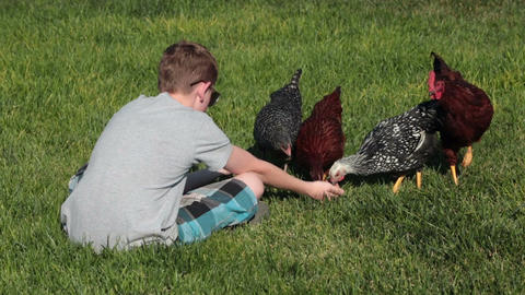 Young boy hand feeds pet chickens P HD 2484 Footage