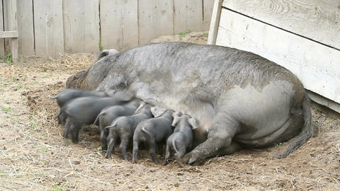 baby pig eating fast P HD 1094 Live Action