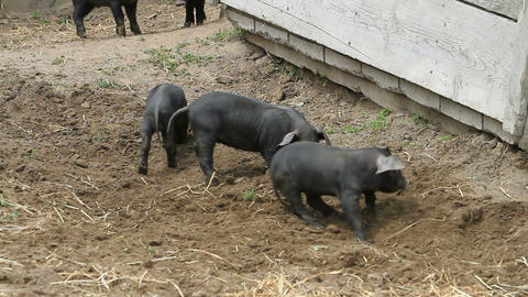 baby pigs sow arrives P HD 1088 Footage