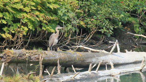 crane standing on log P HD 7676 Live Action