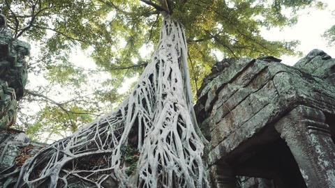 Cambodia Angkor Wat Ta Prohm Temple Tomb Raider Tree Roots Ruins Live Action