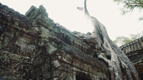 Angkor Wat Ficus Strangulosa Ancient Khmer Ruins Tilt Up Live Action