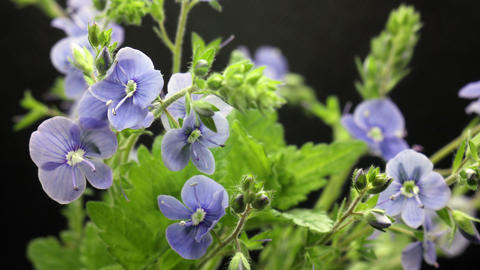 bouqet of small blue flowers raise up leaves, flowers blooming, blossoming Live Action