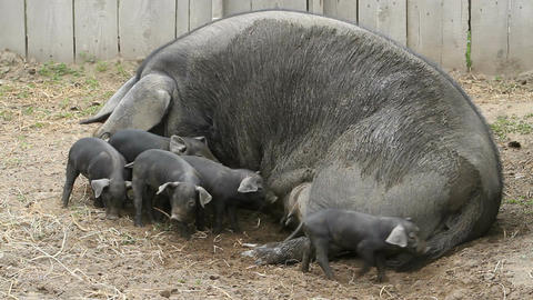pig sow finish feeding P HD 1096 Live Action