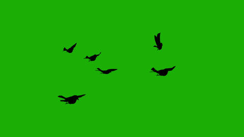 Silhouette birds fly green screen Animation