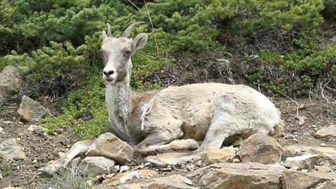 wildlife Mountain sheep ewe close P HD 1269 Footage