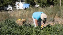 woman harvesting vegetables P HD 2022 Footage