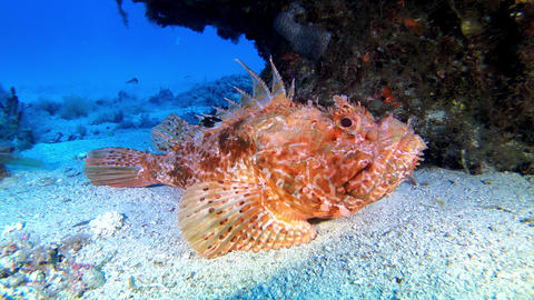 Underwater mediterranean scorpion fish quiet at the sea bed Live Action
