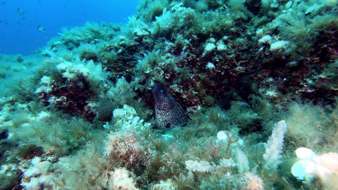 Balearic Islands underwater wildlife - Moray eel running away from the camera Live Action