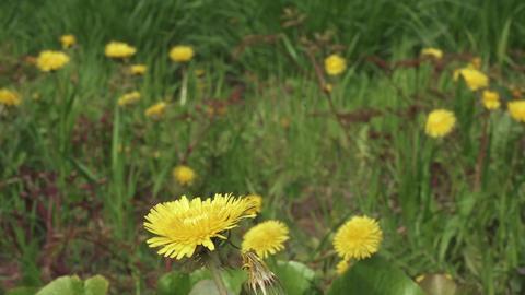 Dandelion flower on a back ライブ動画