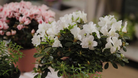 Beautiful potted flowers in a flower shop Live Action