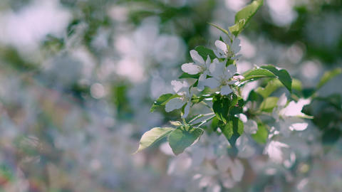 Apple tree flowers in flowering sunny garden. Close up cherry flowers on Live Action