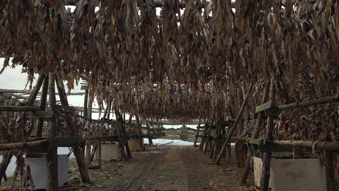 Under wooden racks drying fish Iceland Live Action