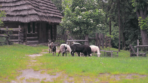 A flock of sheep and sheep and goats graze on a green meadow and eat green grass Live Action
