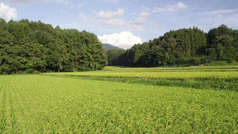 Field ricefield V1-0063 Footage
