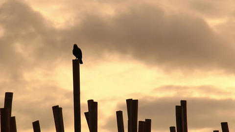 Crows at sunrise Footage