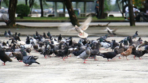 Flock of Pigeons flying off to feeding Footage