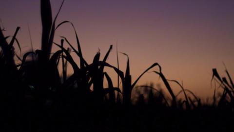 夕暮れをバックに揺れるサトウキビの葉、フォーカスイン ライブ動画