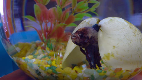 Betta fish in aquarium Footage