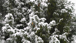 High spruce covered snow Footage
