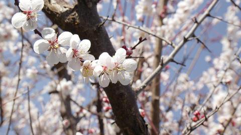 Flowers ume V1-0002 Footage