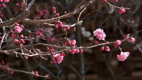 Flowers ume V1-0015 Footage