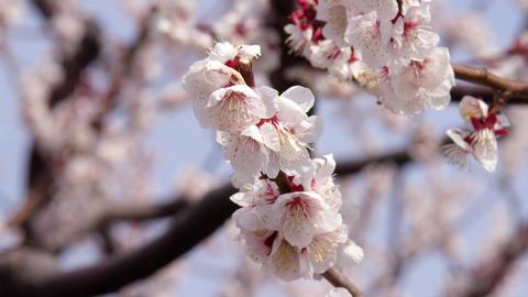 Flowers ume V1-0021 Footage