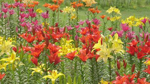 Flowers yuri V1-0006 Footage