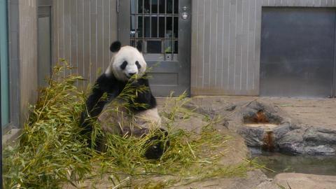 Panda at the zoo Live Action