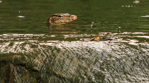 Varanus Swims in Pond by Stony Bank in Park Footage