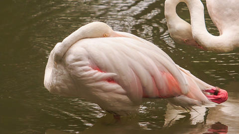 Closeup Pink Flamingo Stands on One Leg Sleeps in Lake Footage