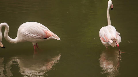 Two Pink Flamingos Stand in Water Clean Feather Footage