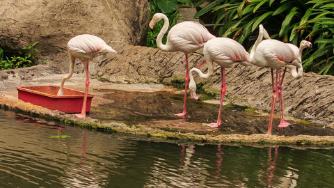 Pink Flamingos Eat Food on Stone Lake Bank from Trough Footage