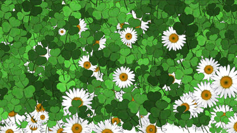 4k Clover white daisy plant vegetation leaf blade background Footage