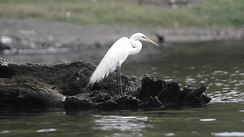 Lake Catemaco, Veracruz wildlife, Egrets and Green Heron Live Action