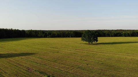 Aerial shot, flight near green oak tree in the country side yellow field on the Live Action